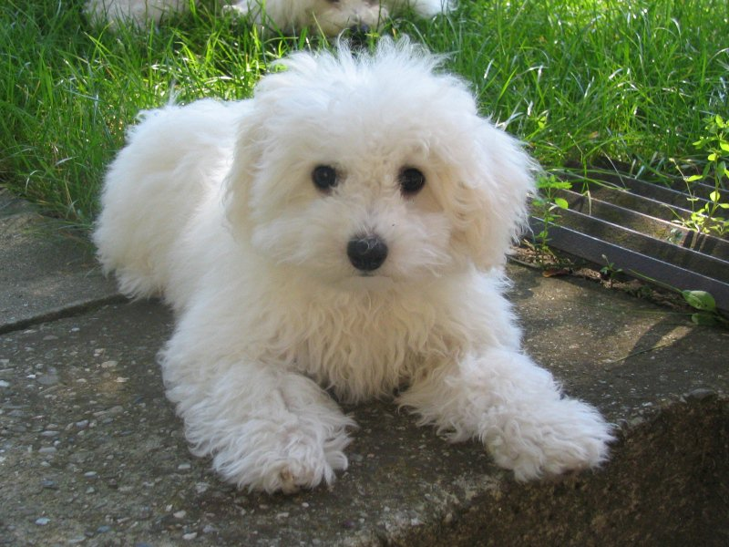 Bolognese Puppiesmoravian Silesian Club Of Maltese And Bolognese