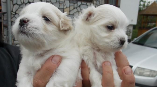 Štěňátka maltézských psíků na prodej – CHS Najoba