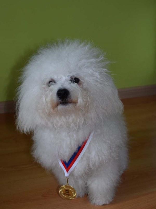 Seznam chovných psů boloňský psík  bcb65166ee